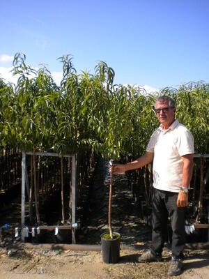 Fruttiferi vivai serratore for Piante da frutto vaso